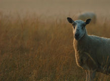 Sheep at Dawn Stock Images