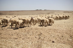 Sheep In A Desert  Royalty Free Stock Photography