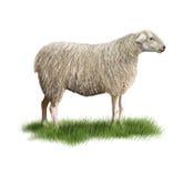 Sheep. Digital illustration of a sheep Stock Photos
