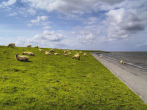 Sheep on dike Royalty Free Stock Photography