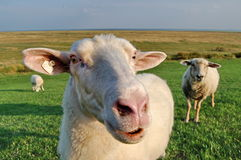 Sheep on dike Stock Photography