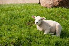 Sheep on the dike Stock Photography