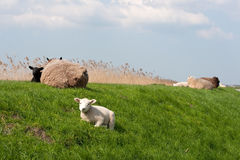 Sheep on the dike Royalty Free Stock Photos