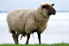 Sheep on a Royalty Free Stock Photos