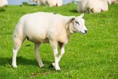 Sheep at the dike Royalty Free Stock Image