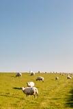 Sheep at the Dike Stock Photos