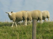 Sheep on the dike Royalty Free Stock Photo