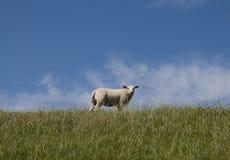 Sheep on a dike Stock Photo
