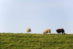 Sheep at the dike Royalty Free Stock Photography