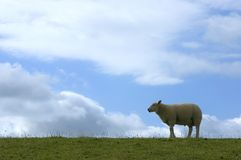 Sheep on dike Royalty Free Stock Images