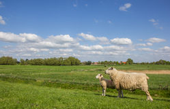 Sheep on a dike along  the dollard route Stock Photos