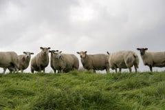 Sheep on the dike Stock Image