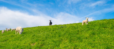 Sheep on a dike in sunlight Stock Photo