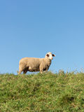 Sheep on a Dike at evening Stock Photo