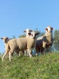 Sheep on a Dike at evening Stock Photos