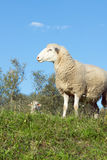 Sheep on a Dike at evening Stock Images