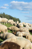 Sheep on a Dike at evening Royalty Free Stock Image