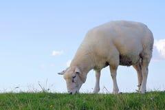 Sheep on a dike Stock Image