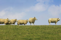 Sheep on a dike Royalty Free Stock Images