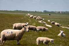 Sheep on the dike at the IJsselmeer. A lake in the Netherlands, region Gaasterland, province Friesland royalty free stock photos