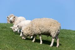 Sheep on dike. In North Frisia, Germany royalty free stock photos