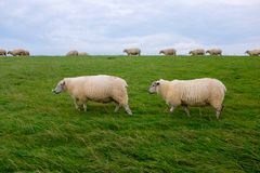 Sheep on a on the North Sea coast, between Bensersiel and Neuharlingersiel, Germany Royalty Free Stock Photos