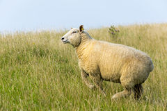 Sheep on the dike Stock Images