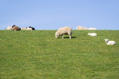 Sheep on dike. In North Frisia, Germany stock photos