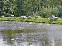 Sheep on a dike somewhere in the Green Hart of Holland. The Green Heart is a relatively thinly populated peatland area situated within the Dutch Randstad. The Royalty Free Stock Photography