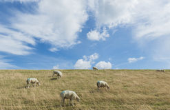 Sheep on Dike on Texel Royalty Free Stock Photo