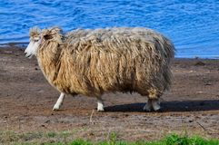 Sheep dip Royalty Free Stock Images