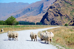 Sheep on dirt road. Sheep wandering along a dirt road near Mount Aspiring, South Island New Zealand Stock Images