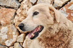 Sheep dog. Old sheep dog with open mouth Stock Photography