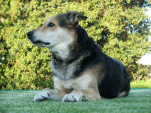 Sheep Dog. Sits on the lawn after a hard days work royalty free stock images