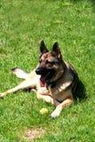 Sheep-dog. Digital photo of a german shepherd dog Stock Image
