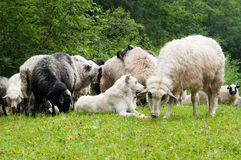 Sheep dog royalty free stock photography