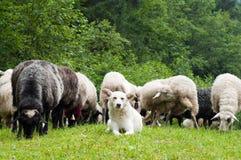 Sheep dog. Polish sheepdog protecting its flock of sheep in the Carpathians Mountains Royalty Free Stock Photography
