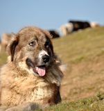 Sheep dog Royalty Free Stock Images