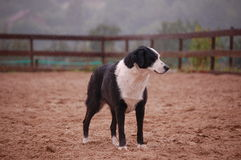 Sheep dog Royalty Free Stock Photos