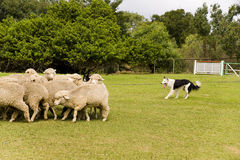 Sheep dog stock images