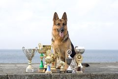Sheep-dog with awards Royalty Free Stock Image