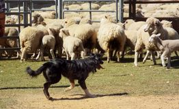 Sheep dog. Coolie sheep dog moving sheep Royalty Free Stock Image
