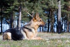 Sheep-dog de Alemanha Foto de Stock Royalty Free