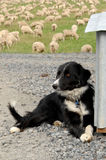 Sheep dog on farm Stock Images