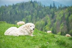 Sheep dog guard herd in Polish mountains Royalty Free Stock Photo