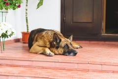 Sheep Dog Having Rest Royalty Free Stock Photography