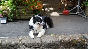Sheep dog or herding dog. A sheep dog or herding dog, Border collie breed in the street stock images