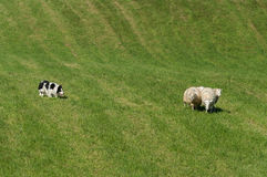 Sheep Dog Herds in Group of Sheep (Ovis aries). Sheep dog herding trials royalty free stock images
