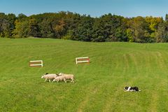 Sheep Dog Herds Sheep Ovis aries Left in Field Stock Photography