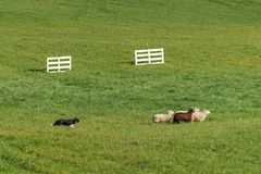 Sheep Dog Herds Sheep Ovis aries Right in Field Royalty Free Stock Images